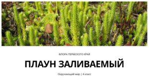 Флора Пермского края. Плаун заливаемый. Окружающий мир 4 класс