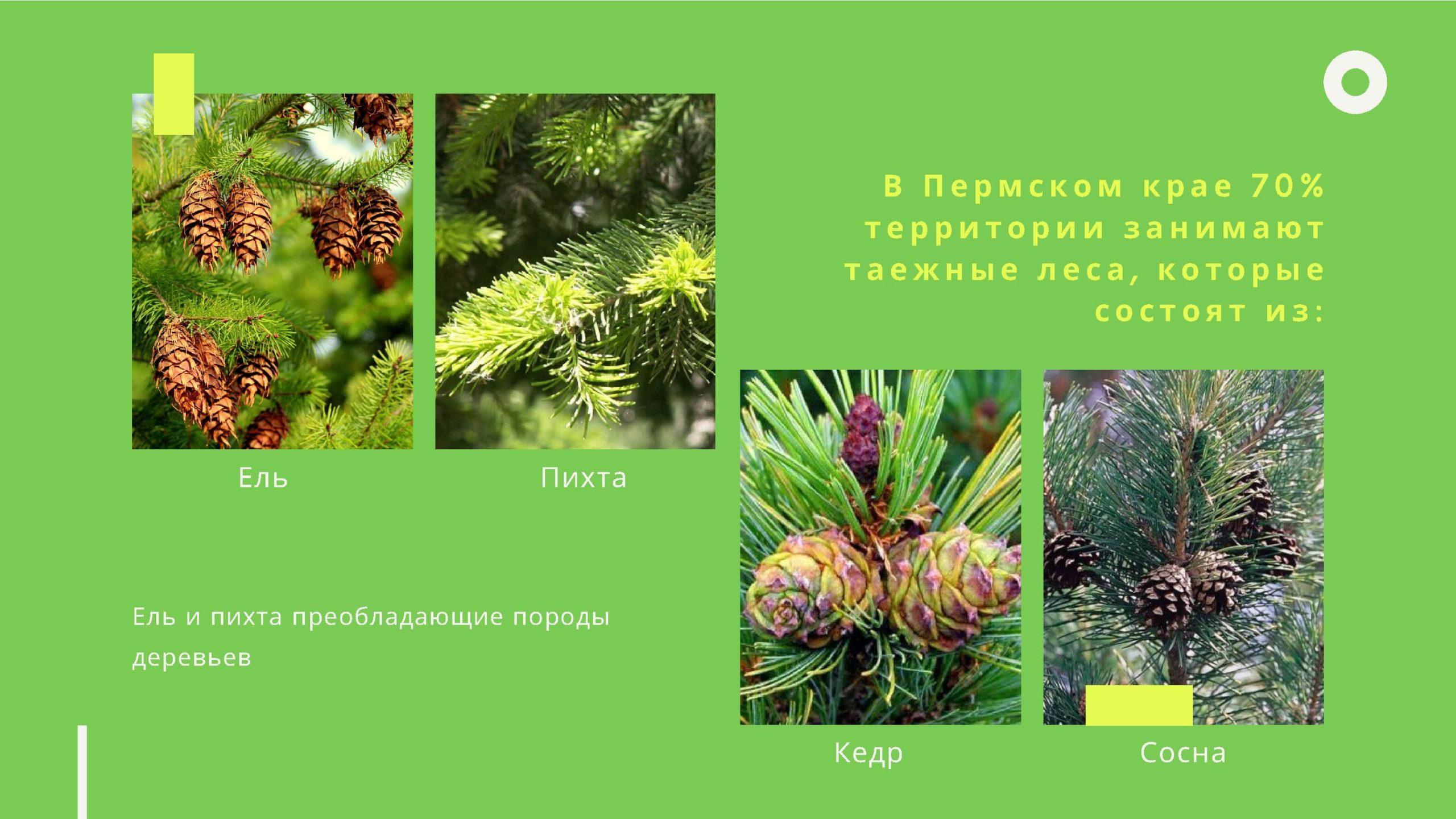 в Пермском крае 70% территории занимают таёжные леса