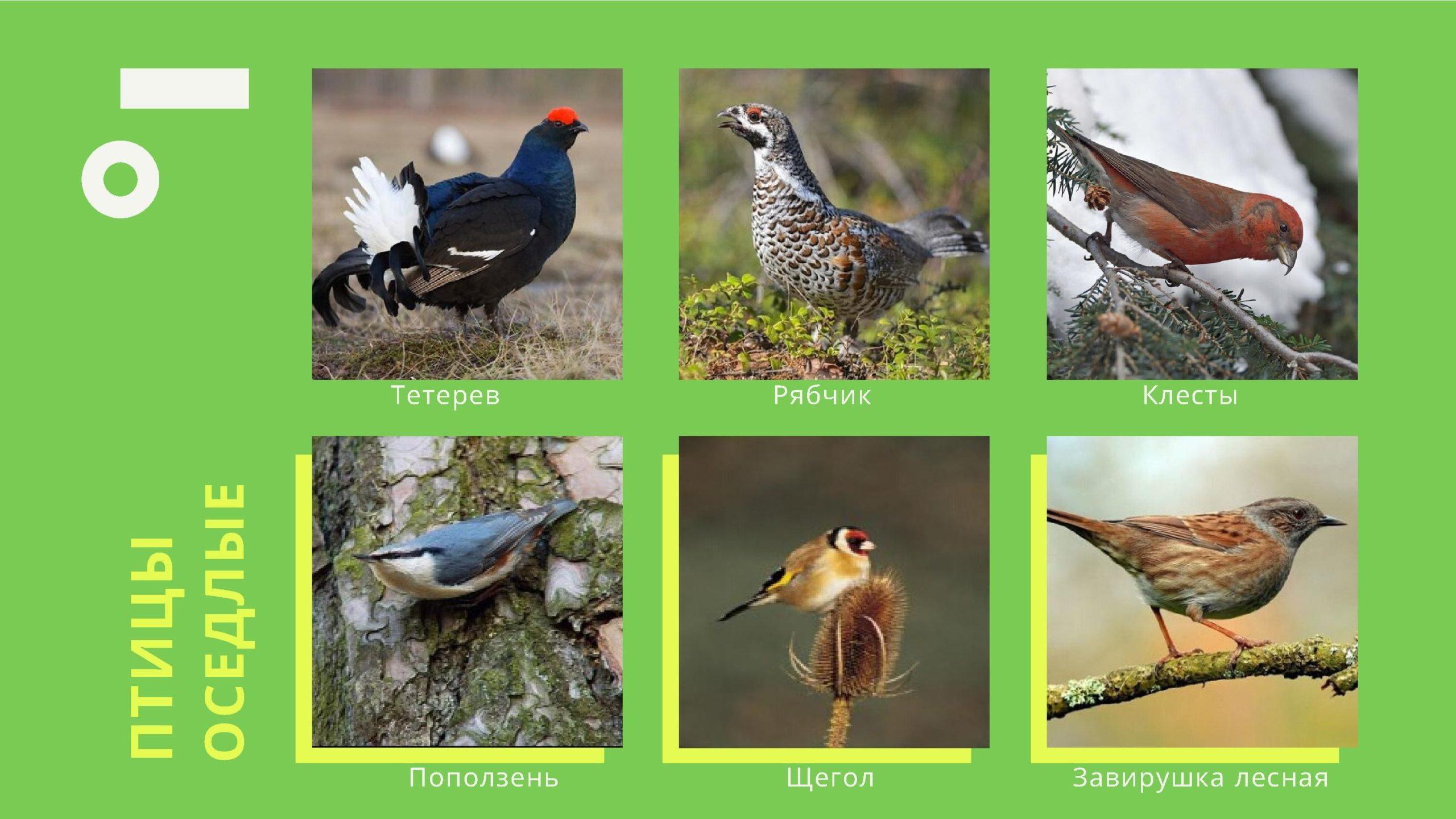 Птицы оседлые
