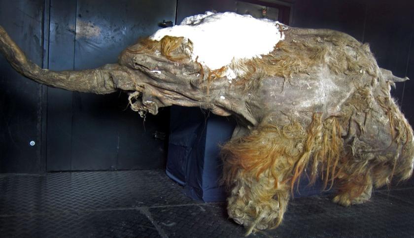Рисунок 10. Фотография экспозиции Якутский мамонт (мамонтенок Юка)