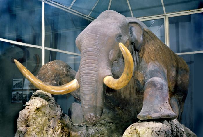Рисунок 5. Фотография экспозиции в Зоологическом музее Академии Наук, г. Санкт-Петербург. Березовский мамонт